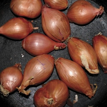 """SEGALL, TY """"Fried Shallots"""" 12"""""""